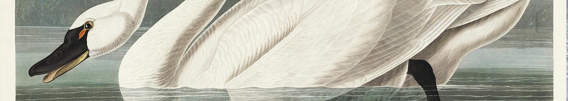 Fototapete weißer Höckerschwan