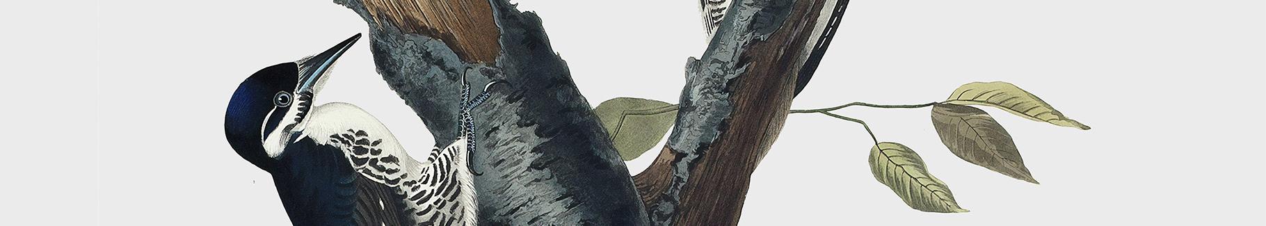 Poster Dreizehenspecht